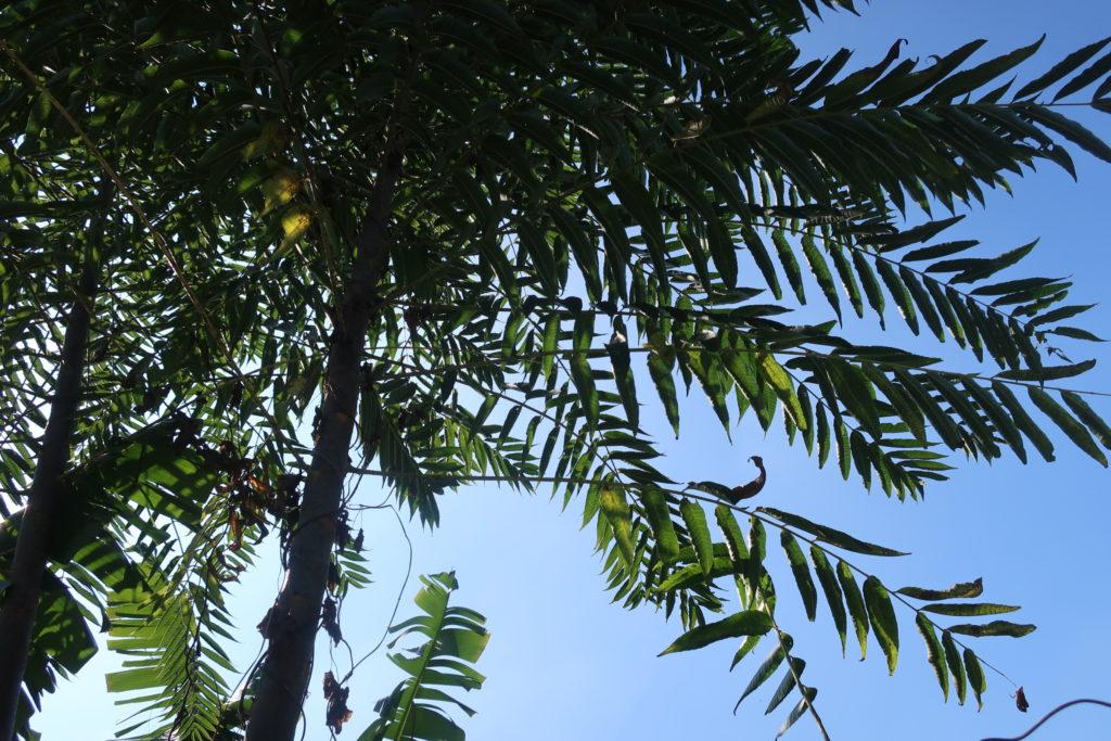 Le cédrèle de Chine - Toona sinensis