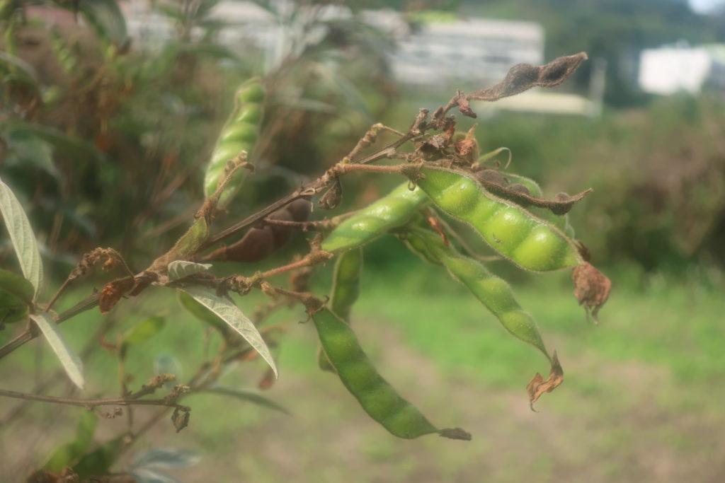 le pois d'angole, plante subtropicale pérenne
