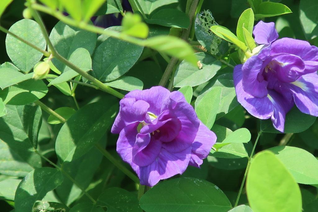 Le pois bleu, ou clitoria ternata est une liane subtropicale.