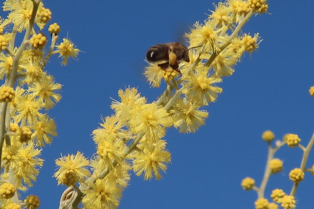 une abeille pollinise les fleurs de mimosa
