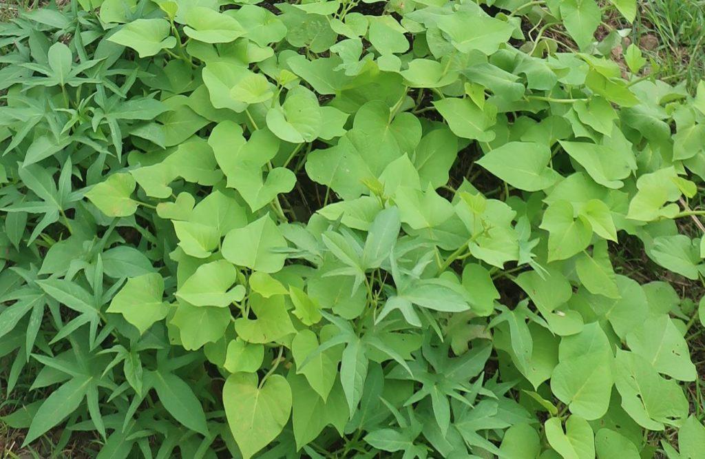 feuilles de patate douce