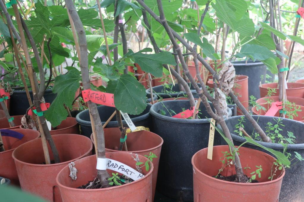 Les variétés de figuiers du Figues du Monde sont soigneusement étiquetées