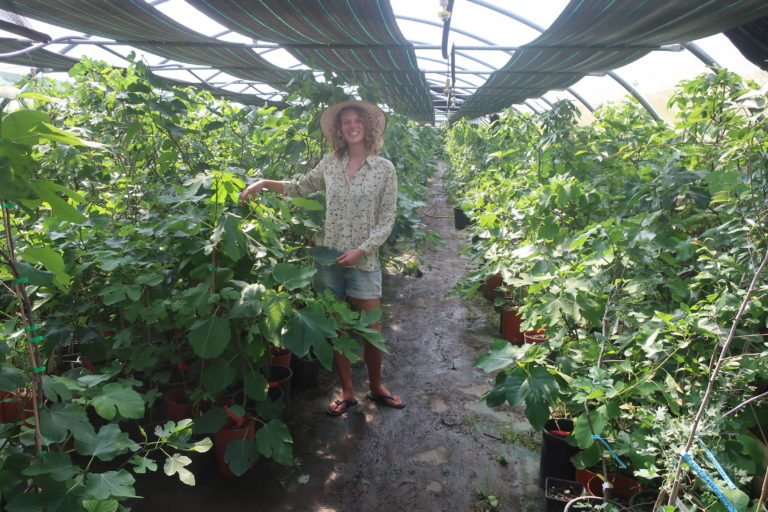 600 variétés de figuiers