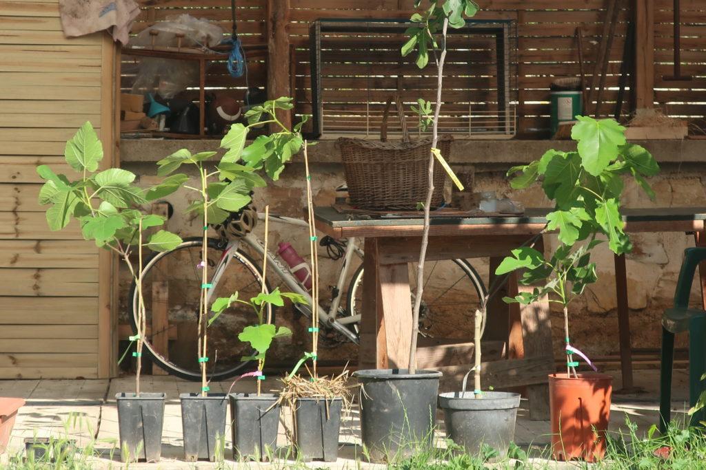 7 variétés de figuiers